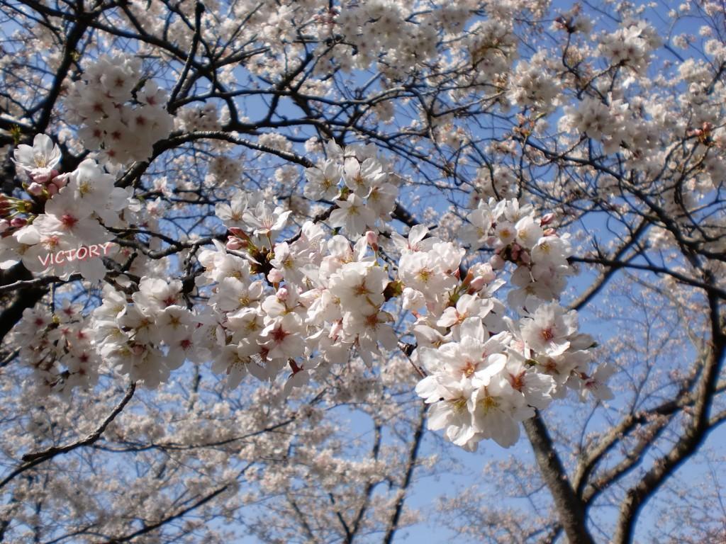 2010年為松公園の桜