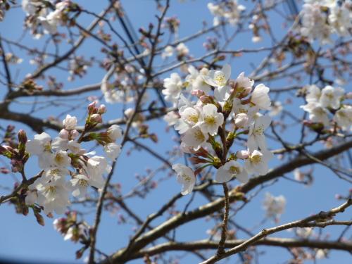 四万十の桜が五分咲き