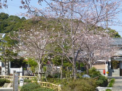 桜が五分咲き