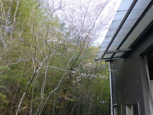 ビクトリーからの桜