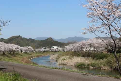 平田の桜-2014-3-27-1
