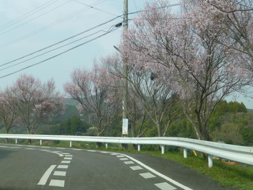 高知県宿毛の桜