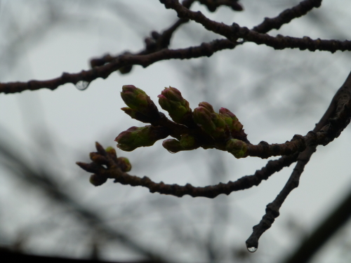 宿毛の大好きな桜の木