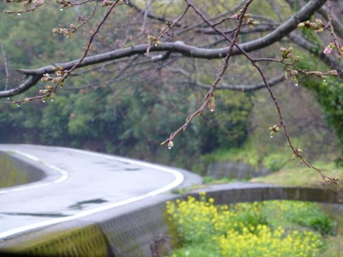 宿毛、お遍路道の脇の桜