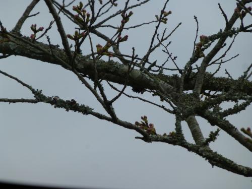 下ノ加江の桜