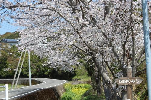 宿毛のお遍路道の桜-2014-3-27-1