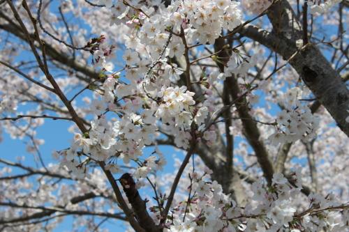 宿毛のお遍路道の桜-2014-3-27-2