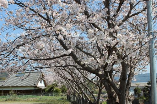宿毛の桜-2014-3-27-3