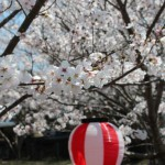 宿毛の桜-2014-3-27-4