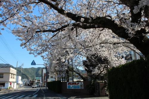 宿毛高校の桜-2014-3-27-1
