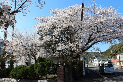 宿毛高校の桜-2014-3-27-2
