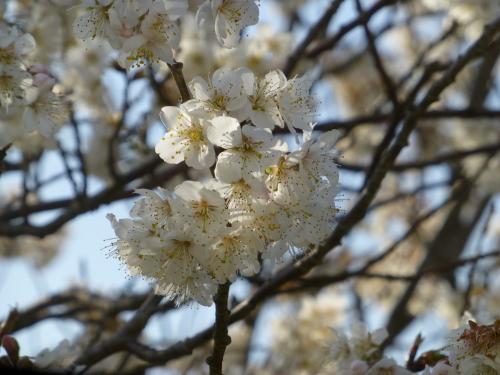 2014年3月-さくらんぼのさくら