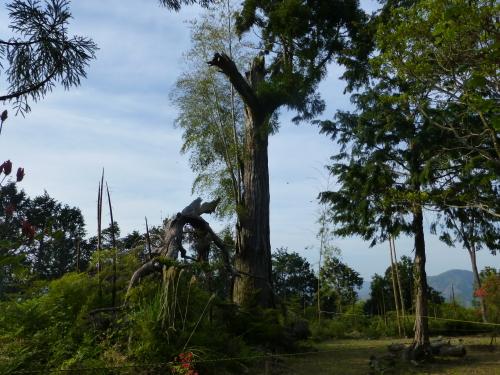 香山寺の樹齢約500年の大杉