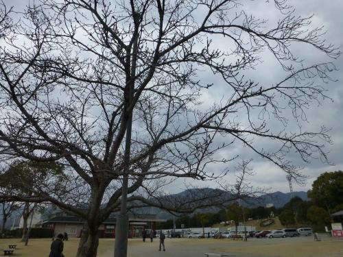 宮島サービスエリアの桜の木