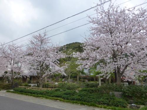 sakura-2015-05