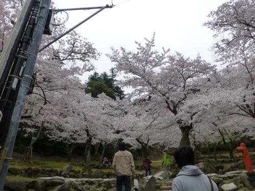 宮島の満開の桜