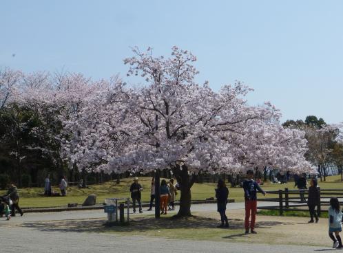 宮島SAの満開の桜