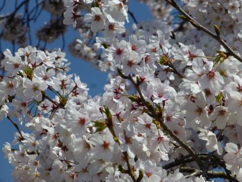宮島SAの桜・ソメイヨシノが満開です