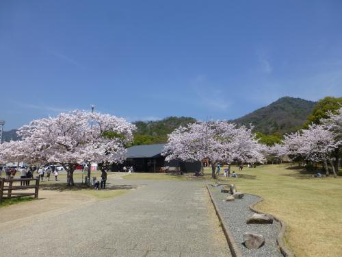 宮島サービスエリアの満開の桜