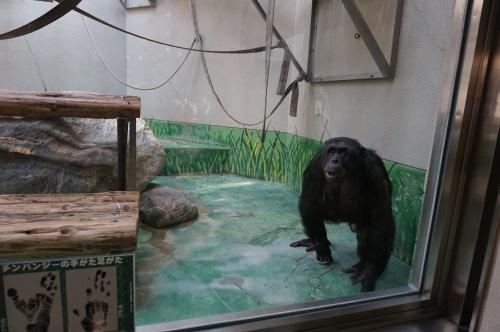 わんぱーく高知・チンパンジー