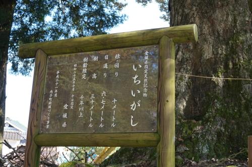 広瀬神社-樫の木