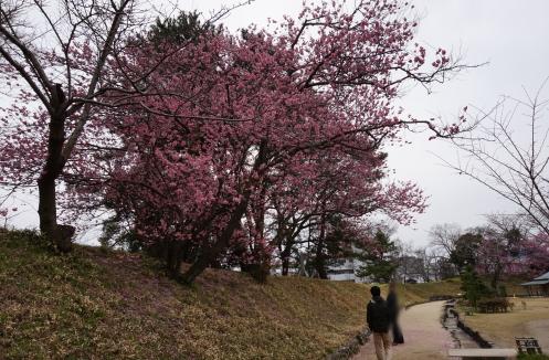 道後公園 彼岸桜