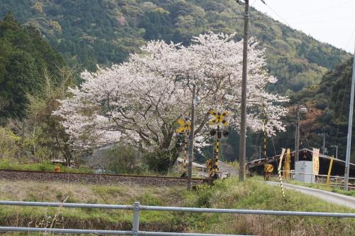 にしおおがた駅近くの踏切の桜