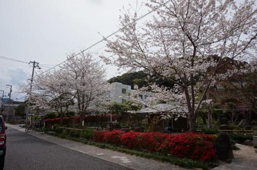 2016年・桜・四万十市