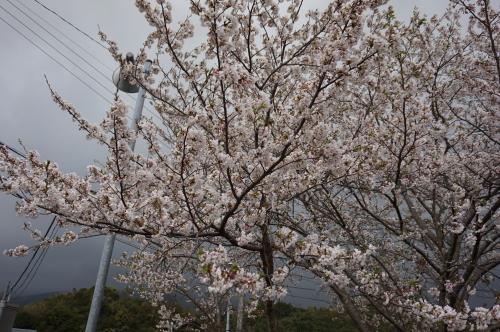 2016年宿毛、遍路道の桜