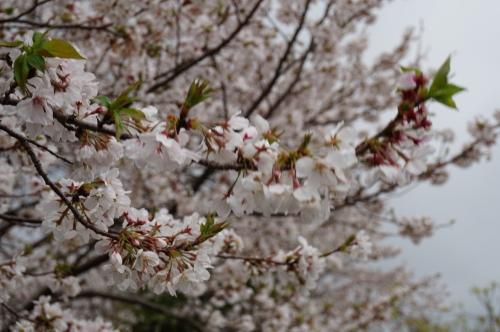 2016年宿毛、遍路道に咲く桜