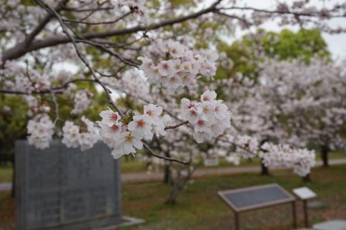若宮八幡宮の桜