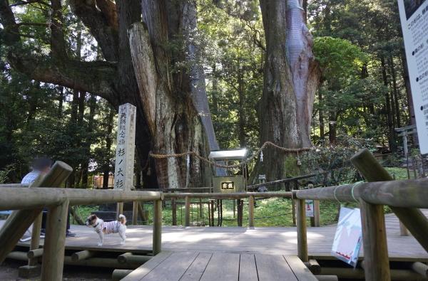 チップと杉の大杉