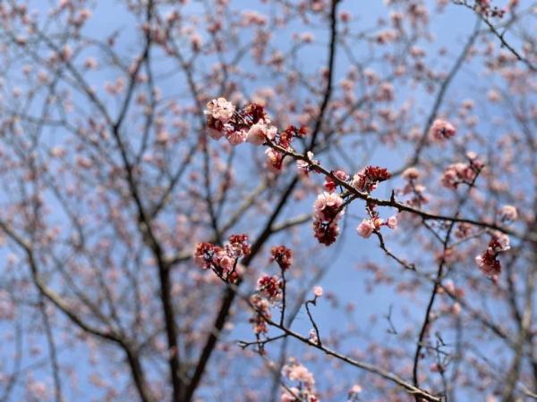 咸陽島の早咲きの桜