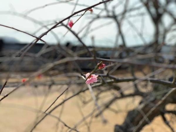 宮島SAのしだれ桜