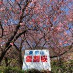 桑田山-雪割桜