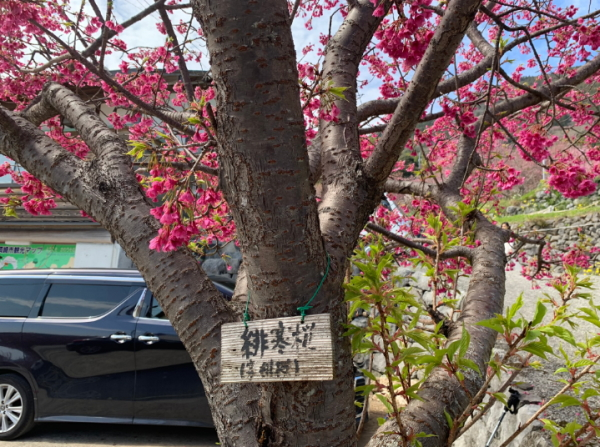桑田山-緋寒桜