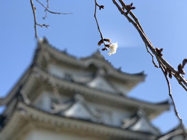 宇和島城と桜